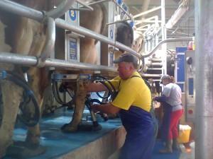 De ce sa folosesc mulgatoarele de vaci la  ferma