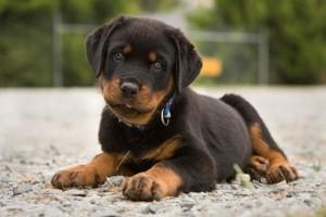 Rottweilerul-un-caine-dur-dar-pretentios-cand-vine-vorba-de-mancare
